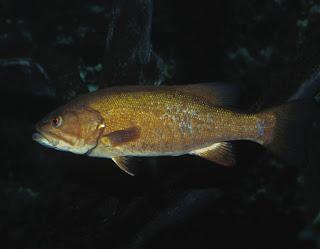 Fish, Bass, Smallmouth