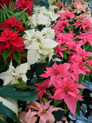Allan Gardens Conservatory Christmas Flower Show 2015 layers red pink white poinsettias by garden muses-not another Toronto gardening blog