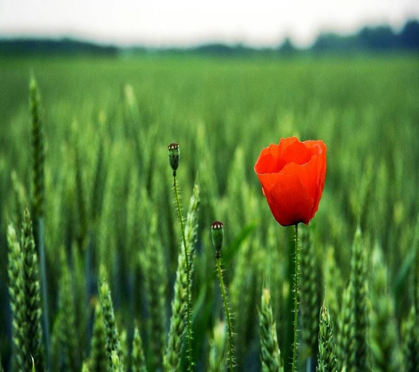 Coquelicot Macro HD Wallpaper for Mobile Phone