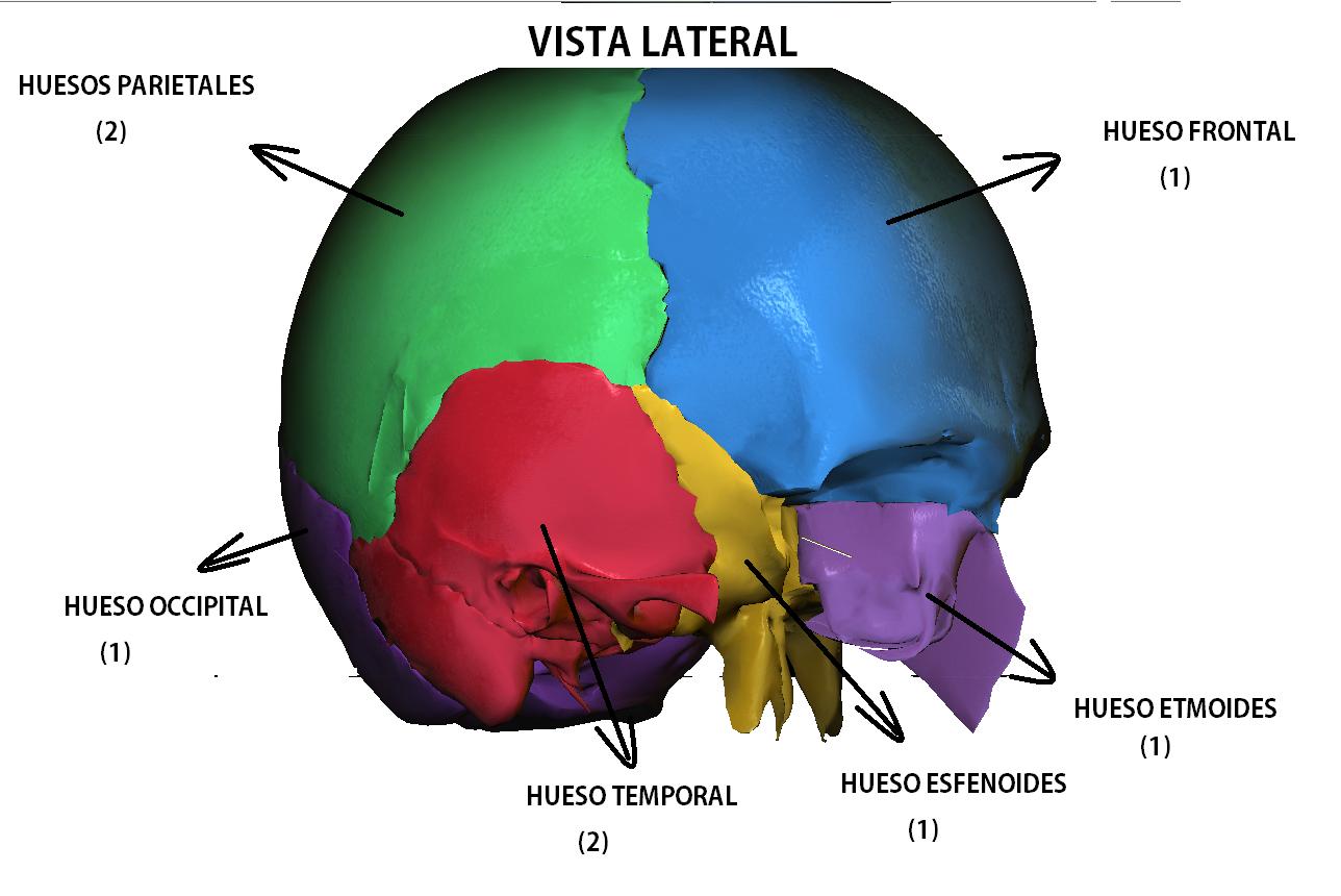 Anatomy full : HUESOS DEL CRANEO