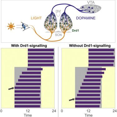 Дофаминовый резонанс в сексе