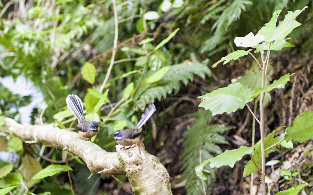2 New Zealand Fantails on Kaipupu Wildlife Sanctuary in Picton New Zealand