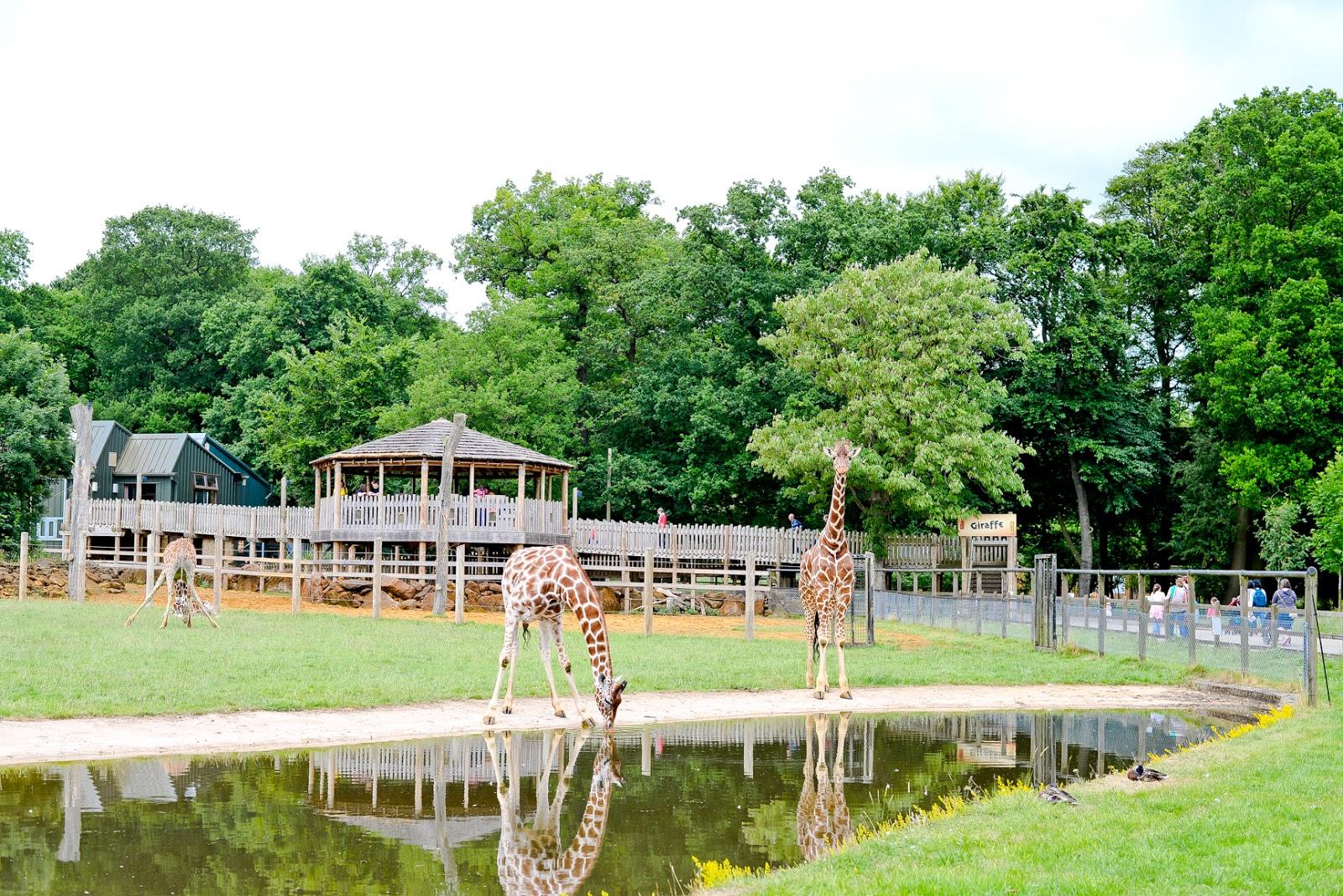 giraffes, whipsnade zoo