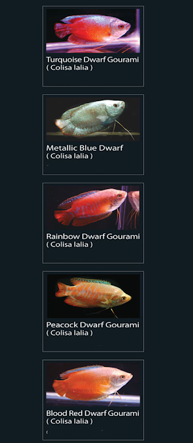 Metallic Blue Dwarf (Colisa Lalia)  8 Rainbow Dwarf Gourami (colisa lalia)  9 Peacock Dwarf Gourami (colisa lalia)  10 Blood Red Dwarf Gourami (colisa Lalia)