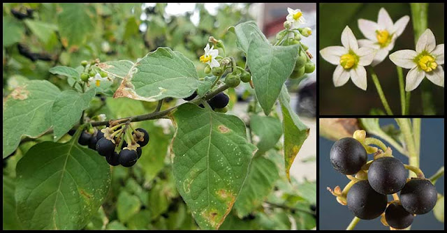 Study: Black Nightshade Can Help Reduce The Growth Of Cancerous Tumors