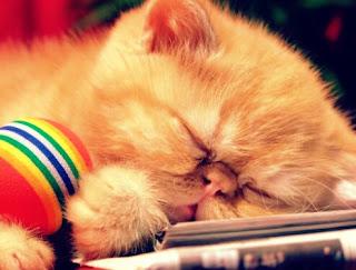 Jenis Kucing Persia Peaknose yang Bagus
