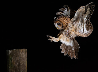 Tawny Owl coming in to land - Lawrence Liddy/BTO