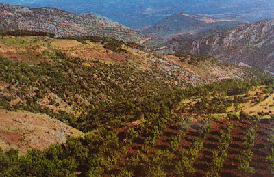 Foto Perkebunan zaitun di Libanon
