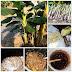 จุลินทรีย์หน่อกล้วย ของดีอยู่ใกล้ตัว ช่วยให้พืชเจริญเติบโตได้ดีขึ้น