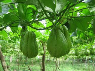 Hướng dẫn cách trồng cây su su ăn ngọn sai quả sạch tại nhà