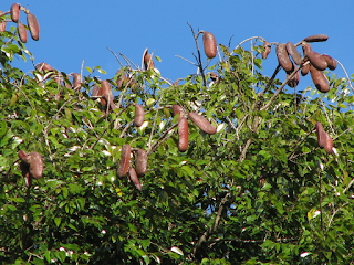 Guapinol Seed Pods