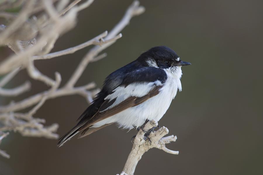 Semi-collared Flycatcher