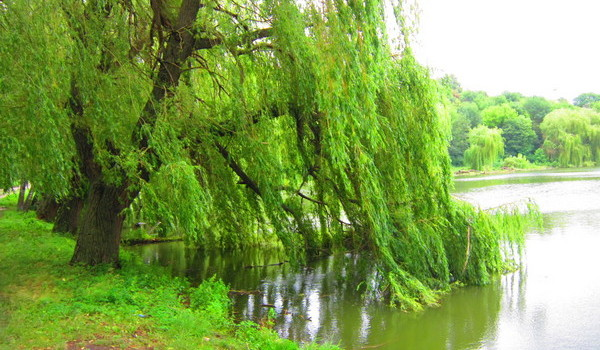 willow over water