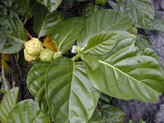 buah mengkudu berkhasiat mengobati sakit