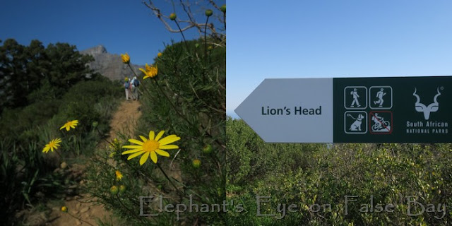 No mountain bikes on our hiking trails, thank you! Yellow Euryops and Table Mountain