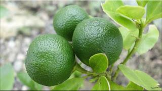 gambar buah jeruk limau,limo
