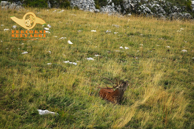 cervo che bramisce