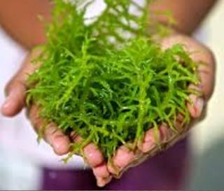 Jenis Rumput Laut Yang Laku Di Pasaran