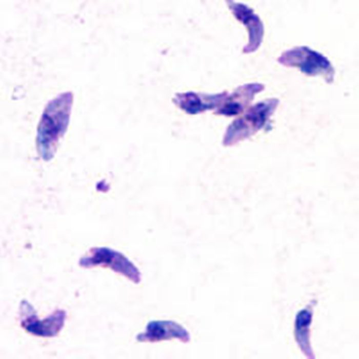 INFECTIOUS DISEASE: Infective Parasitic Pathogen ...