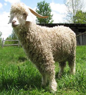 angora goat, about angora goat, angora goats, angora goat appearance, angora goat breeding, angora goat characteristics, caring angora goats, angora goat color, angora goat coat color, angora goat facts, angora goat farming, angora goat horns, angora goat info, angora goat images, angora goat origin, angora goat photos, angora goat pictures, raising angora goats, angora goat size, angora goat uses