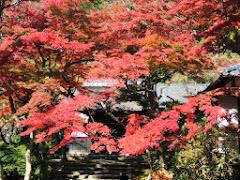 円覚寺の紅葉・黄葉