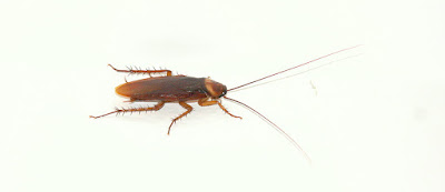 Cockroaches  facts