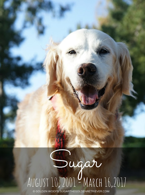 In loving memory of Sugar the Golden Retriever
