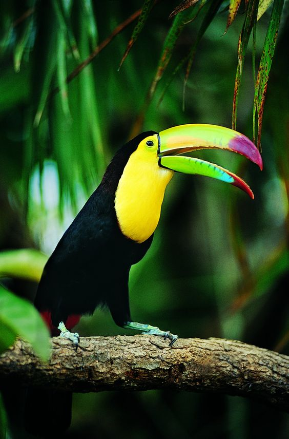 Keel-billed Toucan (Ramphastos sulfuratus) | Our World's 10 Beautiful and Colorful Birds