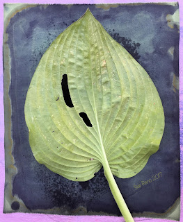 Hosta leaf, wet cyanotype print in progress, for Halcyon Days