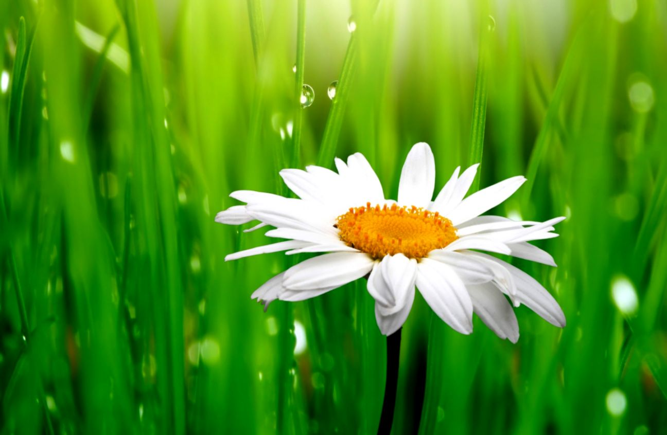 Photo Flower Daisy Hd Wallpaper Format Wallpapers