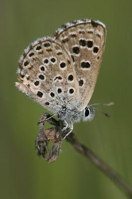 Anverso alar de Pseudophilotes abencerragus
