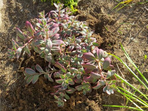 variegated sedum hybrid