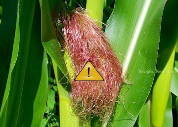 Contraindicações do Cabelo-de-milho