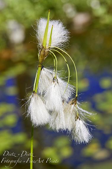 Schmalblättriges Wollgras (Eriophorum angustifolium)