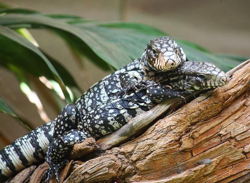 giant tegu   Tumblr   Giant Tegu Lizard