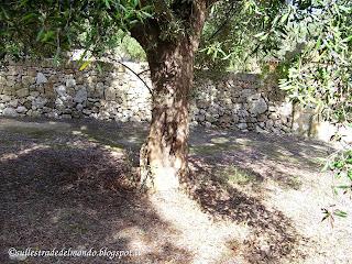 ulivi antichi