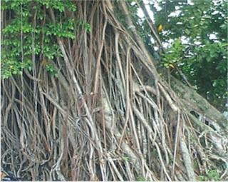 Asal Usul Pohon Beringin (Ficus benjamina Linn)