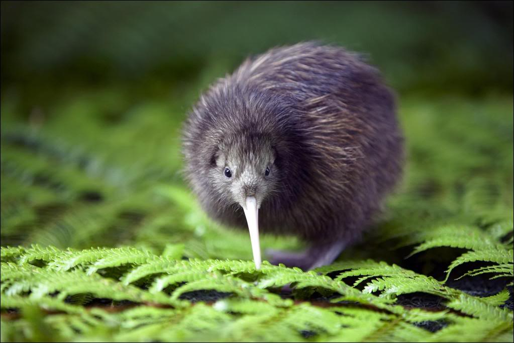 Picture of a kiwi.