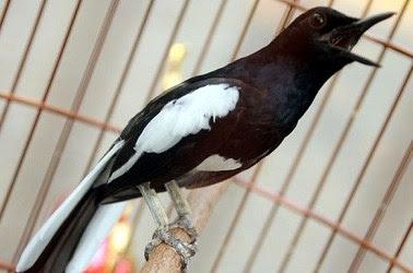 6 Cara Dan Tips Mengatasi Masalah Burung Kacer Yang Macet Bunyi Paling Tepat