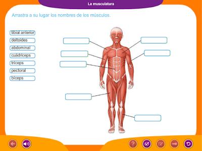 http://ceiploreto.es/sugerencias/juegos_educativos_6/2/6_La_musculatura/index.html