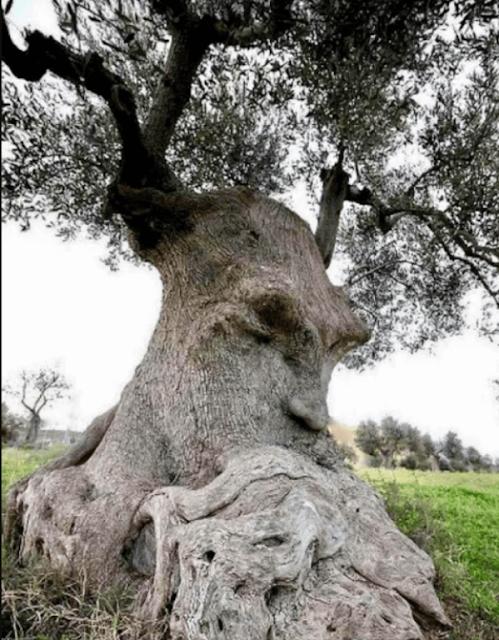 Стародавнє оливкове дерево