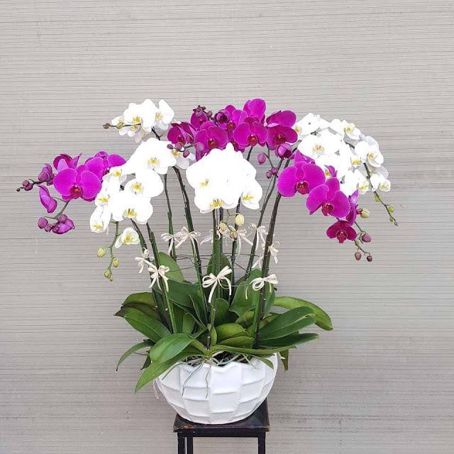 Kỹ thuật trồng cây hoa lan hồ điệp trong chậu