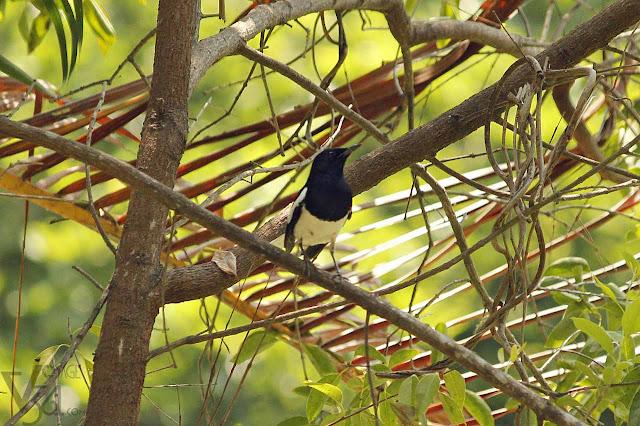 Oriental magpie robin (19 cm) - Ranganathittu