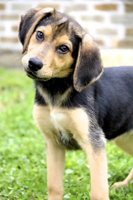 Beagle & Shepherd Mix