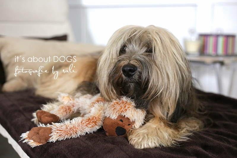 Hundeblog - Tibet Terrier Chiru mit seinem Lieblingsstofftier