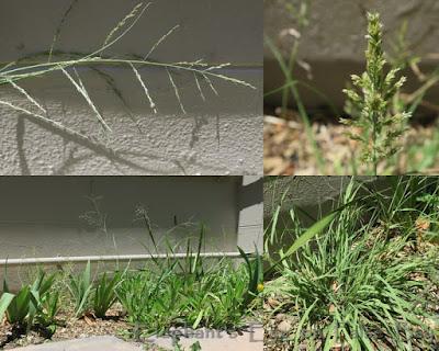 Eragrostis curvula weeping love grass