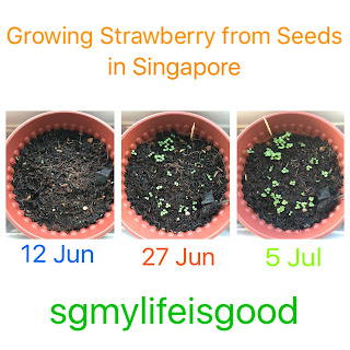 Growing strawberry from seeds in Singapore
