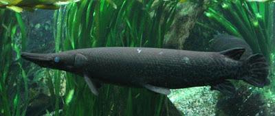"""""""aquarium ikan aligator"""""""