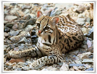 Ocelot Animal Pictures