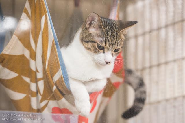 猫カフェ西国分寺シェルターのケージの中のハンモックに乗り顔を出している猫の写真